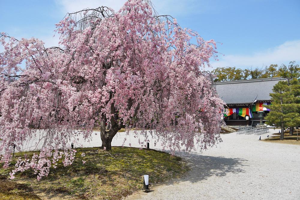大覚寺 桜