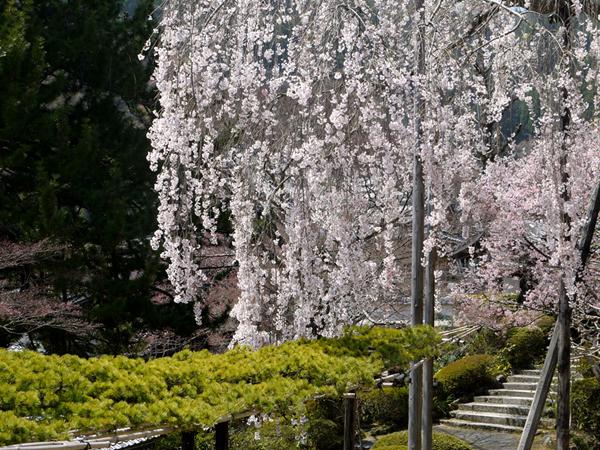 桂昌院 お手植えの枝垂桜