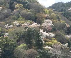 嵐山の桜の見ごろ