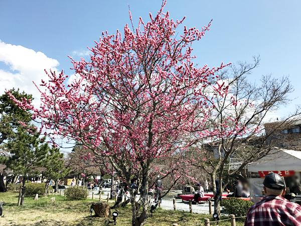 嵐山の桜 キレイ