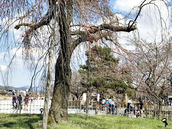 中の島公園 ライトアップの枝垂桜