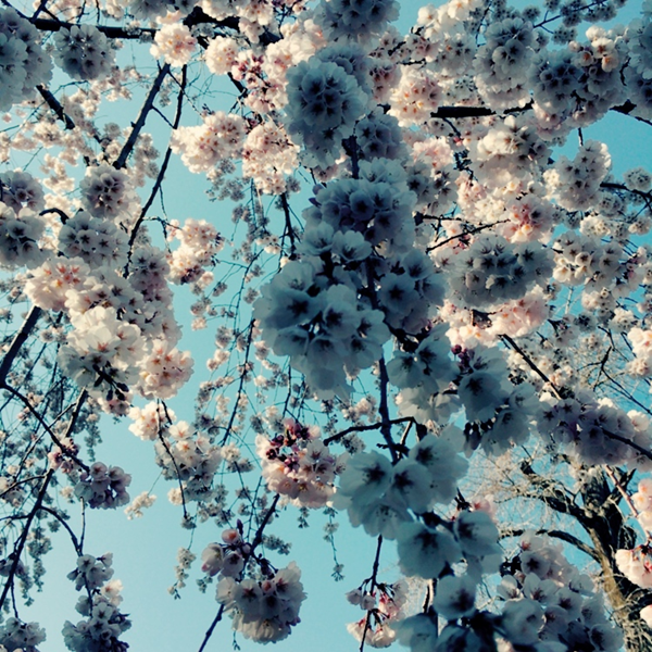 平野神社 魁桜