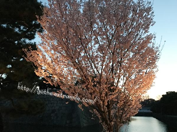 二条城 桜 お堀
