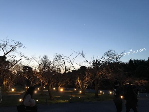 二条城 桜の園 4月2日