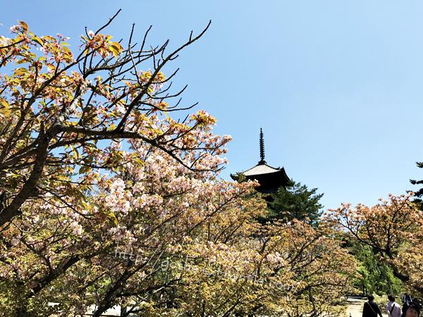 御室仁和寺 御室桜