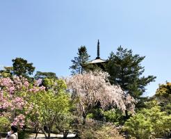 仁和寺 遅咲き桜