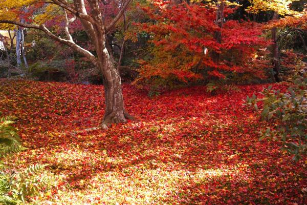 宝筐院 紅葉