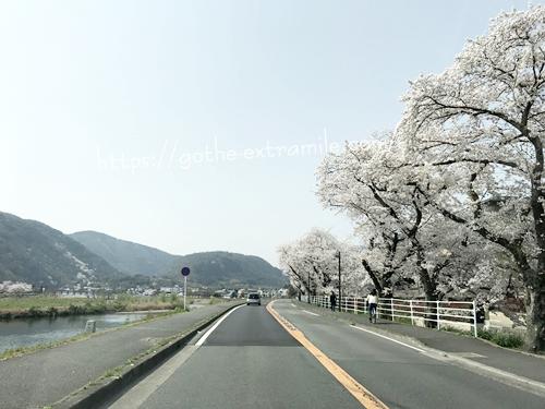 嵐山 桜 桂川土手