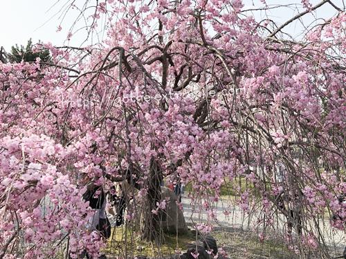嵐山 枝垂れ桜 満開