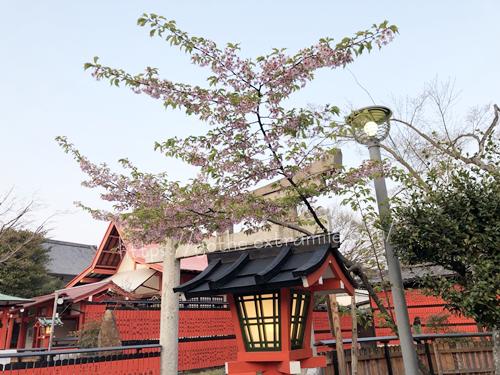車折神社 河津桜