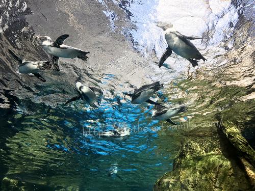 京都水族館 ペンギン